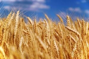 Бизнес-идея: перевозка зерновых